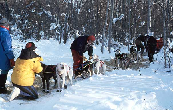 Mushers harnessing up a team